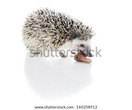 African hedgehog eats earth worm - stock photo