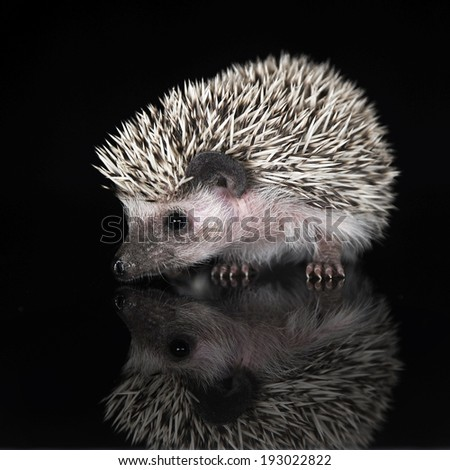 African Hedgehog in the dark studio