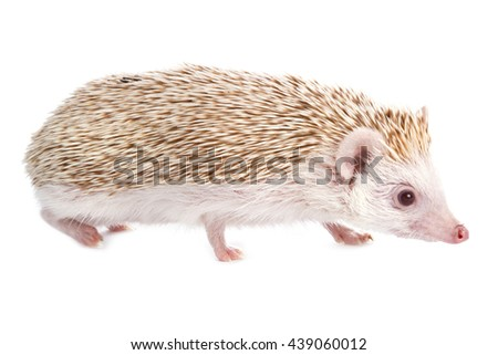 African hedgehog on white background - stock photo