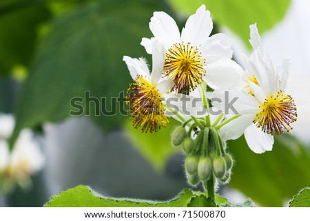 African hemp or African linden with large bushes with bold heart-shaped leaves and groups of white-petalled flowers with yellow centers. - stock photo
