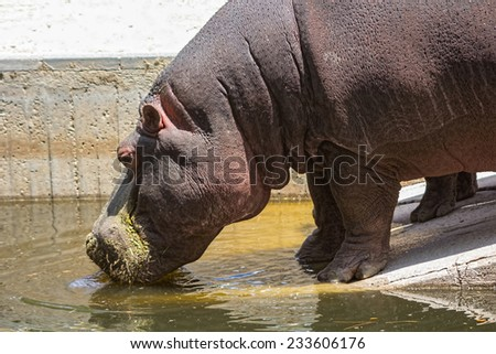 African hippo drinking water - stock photo