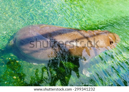 African hippopotamus enjoying the water on sunny day  - stock photo