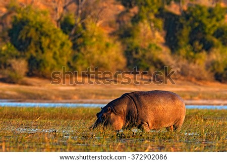 African Hippopotamus, Hippopotamus amphibius capensis, with evening sun, animal in the nature water habitat, Chobe River, Botswana, Africa - stock photo