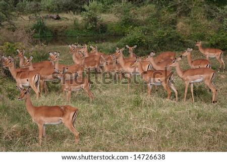 African Impalas - stock photo