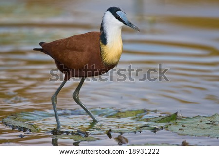 African Jacana standing on the leave of a water plant
