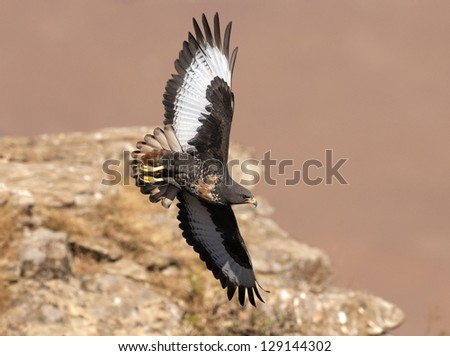 African Jackal Buzzard flying past cliff face - stock photo