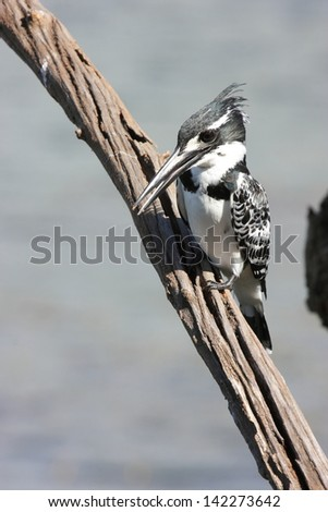 African kingfisher bird of prey fish lakes and rivers south africa national park krugerg - stock photo