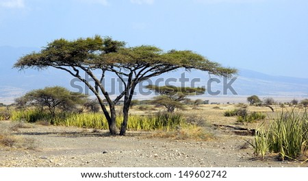african landscape with a acacia tree - stock photo