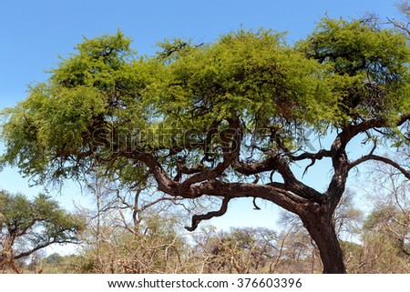 African landscape with acacia in front in national park nambwa on Caprivi Strip Namibia - stock photo