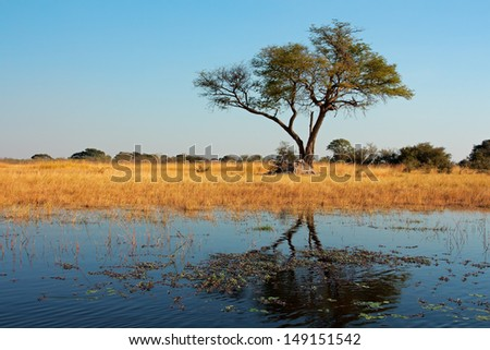 African landscape with an Acacia tree reflected in water, Kwando river, Namibia  - stock photo
