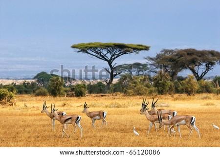 African landscape with gazelles, Amboseli, Kenya - stock photo