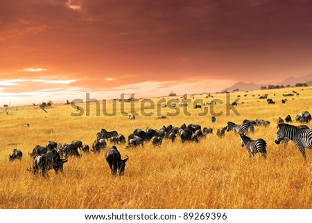 African landscape. Zebras herd and antelopes wildebeest at sunset in the savannah, Masai Mara, Kenya - stock photo