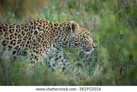 African leopard female walking in Khwai Reserve in Botswana - stock photo