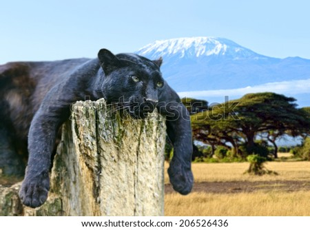African Leopard on the African savannah on background of Mount Kilimanjaro - stock photo