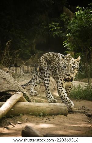 African Leopard (Panthera pardus) - stock photo