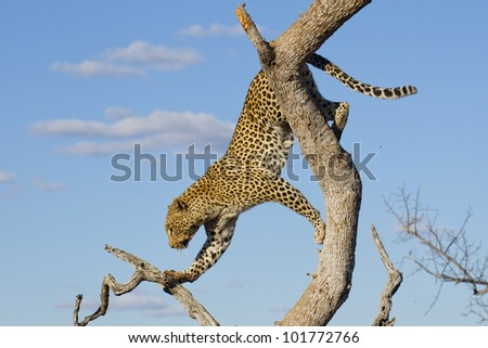 African Leopard (Panthera pardus) climbing down a tree in South Africa - stock photo
