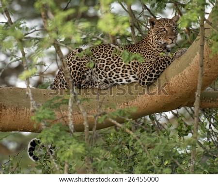 African leopard (Panthera Pardus Pardus) resting on a tree branch in Nakuru Lake National Park, Kenya, East Africa - stock photo