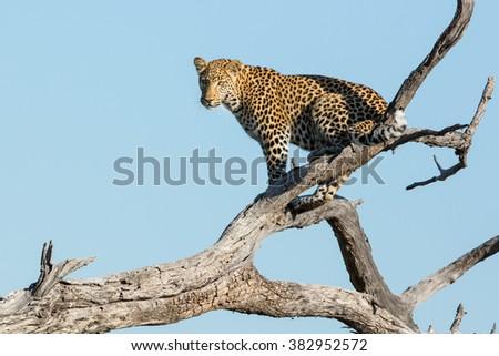African leopard sitting in dead tree in Khwai Reserve in Botswana - stock photo