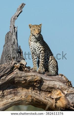 African leopard sitting in dead tree in Savuti Reserve in Botswana - stock photo