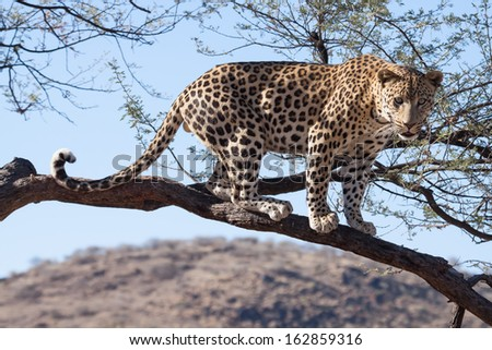 african leopard standing on a branch of a tree without leaves - stock photo