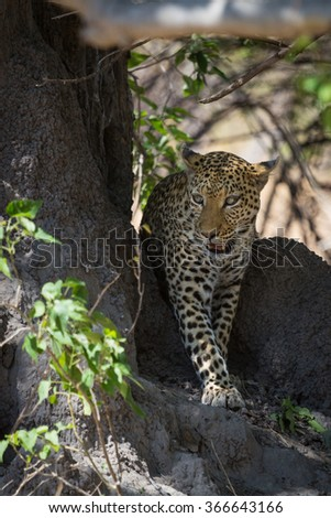 African leopard walking in shade African leopard walking in shade. Okavango delta of Botswana, Africa.  - stock photo
