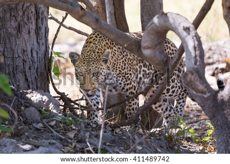 African leopard walking in shade. Okavango delta of Botswana, Africa. - stock photo