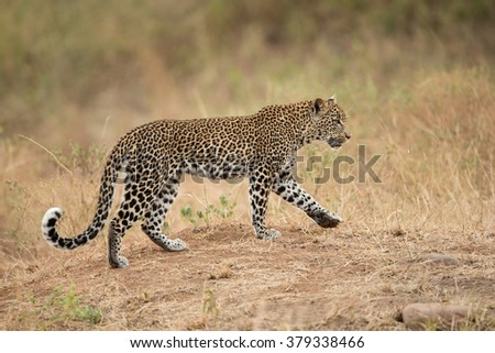 African Leopard walking in the Kruger Park in South Africa - stock photo