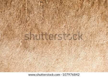 African Lion Coat Closeup - Lion Fur Closeup. Real Photo. - stock photo