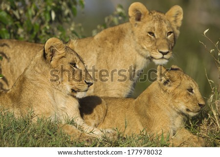 African Lion cubs in the Masai Mara National Reserve