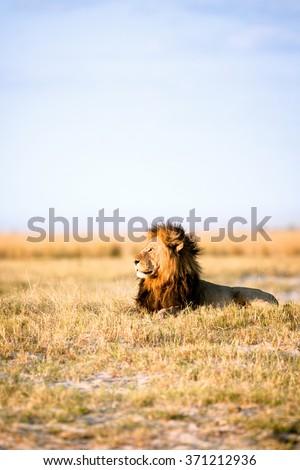 African Lion in Savanna - stock photo
