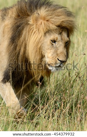 African lion in the National park of South Africa