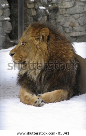 African lion, male.