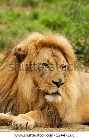 African lion male looks intently at something that attracted his attention - stock photo
