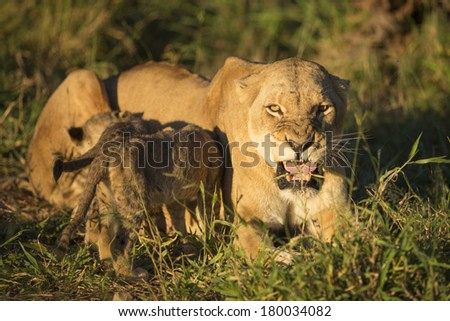 African Lion Mother and feeding cubs South Africa - stock photo