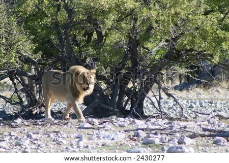African Lion - Panthera leo - stock photo