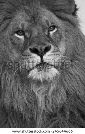 African Lion, Panthera leo, Barbary Lion subspecies extinct in the wild, in Captive situation