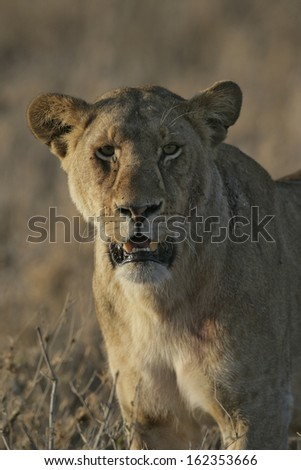 African lion,  Panthera leo, single female head shot, Tanzania