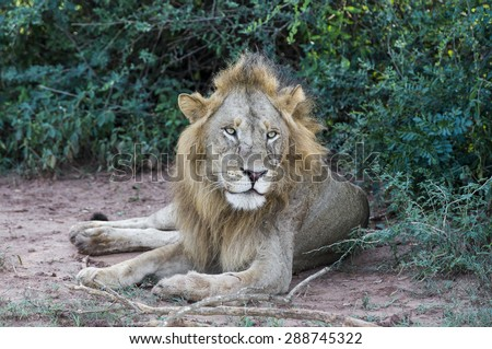 African Lion resting at the Murchison Falls National Park in Uganda, Africa - stock photo