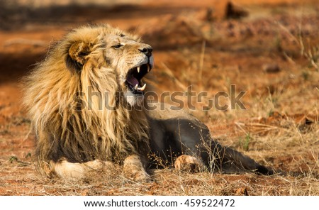 African Lion roars while lying
