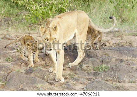 African lioness and her cubs walk out of bushes  at Masai Mara National Reserve , Kenya - stock photo
