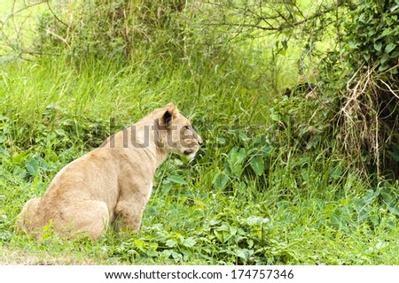 African lioness hunting , Eastern  Africa - stock photo