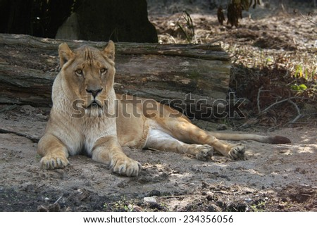 African lioness (Panthera leo).   - stock photo