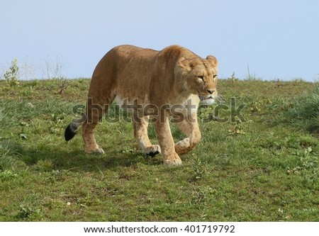 African Lioness (Panthera leo) on the prowl