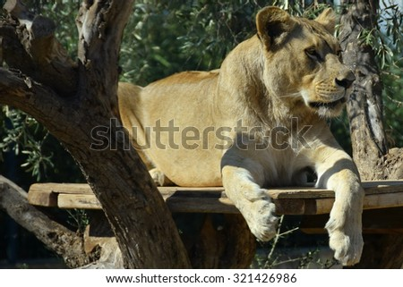 African lioness resting on wooden platform. Wild animal. - stock photo