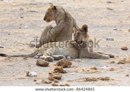 african lions family