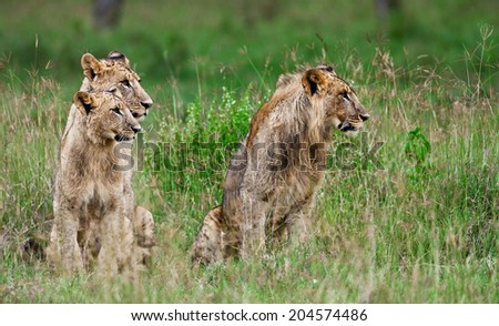 African Lions in the Lake Nakuru National Park, Kenya