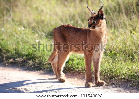 African Lynx or Caracal standing in the afternoon sun light - stock photo