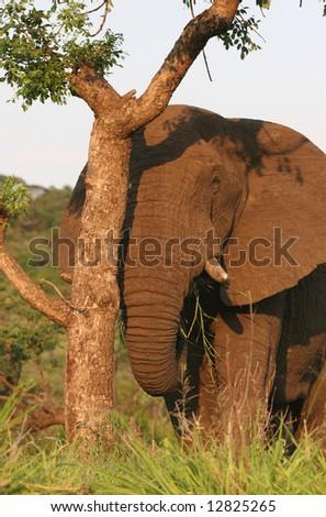 African male elephant (Loxodonta africana) peeking behind tree. Hluhluwe-Umfolozi National Park. Zululand. South Africa. - stock photo