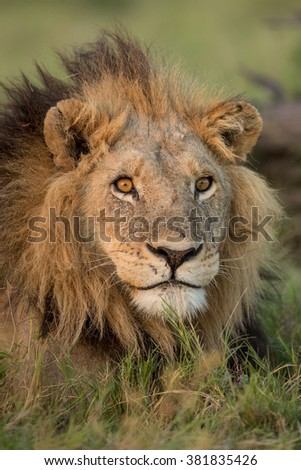 African male lion portrait in Etosha National Park in Namibia - stock photo