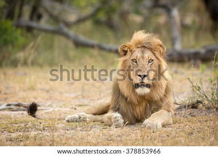 African Male Lion portrait in the Kruger Park South Africa - stock photo